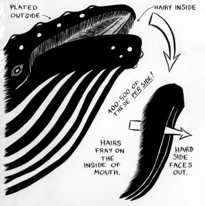 Image that shows how humpbacks use baleen in their mouths, to filter-feed