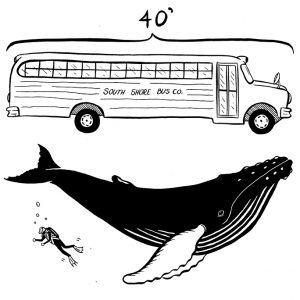 humpback whales are about the same size as a school bus