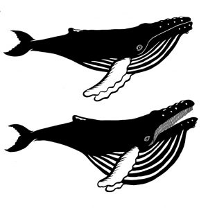 Image of humpback whale's pleats, which expand when feeding